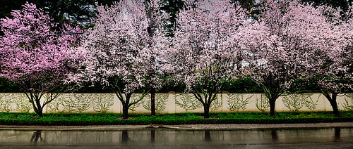Atherton Spring Blossoms in the Rain | by Abe K