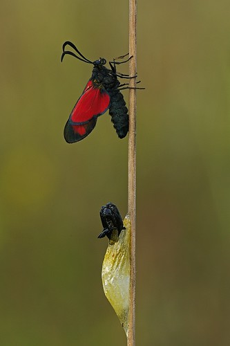 Newly Emerged Adult | by Eiderdrake.