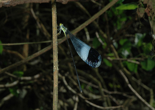 Helicopter Damselfly Giant Helicopter Damse...