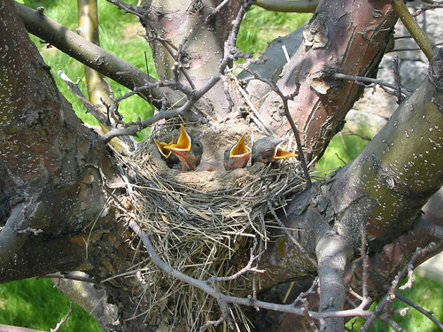 Hungry baby robins | by Great Glen Trails