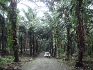 Oil palm: old palms | by DrLianPinKoh