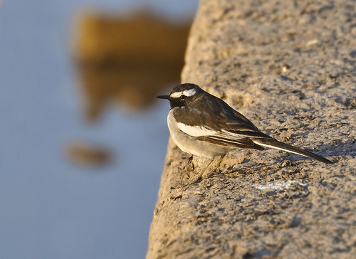 White Wagtail III | by Umair Ashfaq