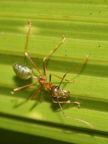 how to get rid of green ant