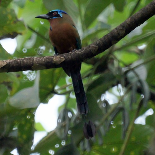 Blue-crowned Motmot | by Mike's Birds