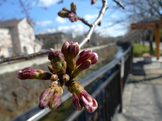 桜のつぼみ_2