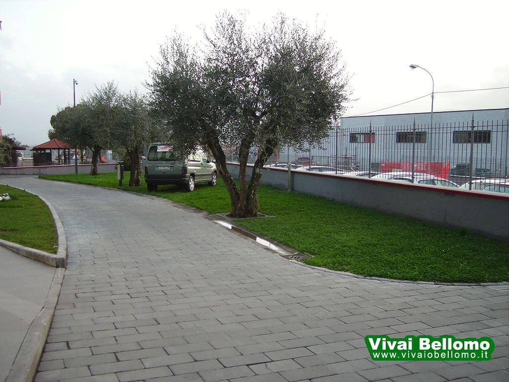 Giardino Con Olivo E Trifoglio Vivai Bellomo Produzione Flickr