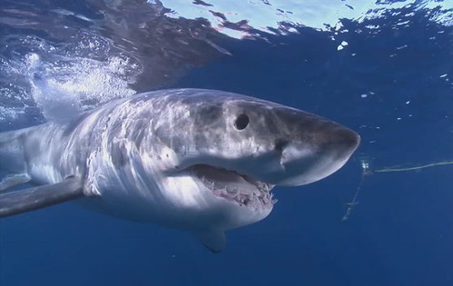 Great White Shark | by kqedquest