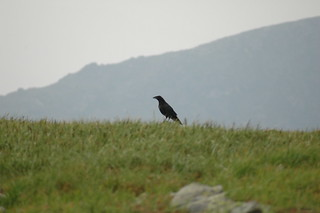 Crow, mmm, maybe raven | by Great Glen Trails