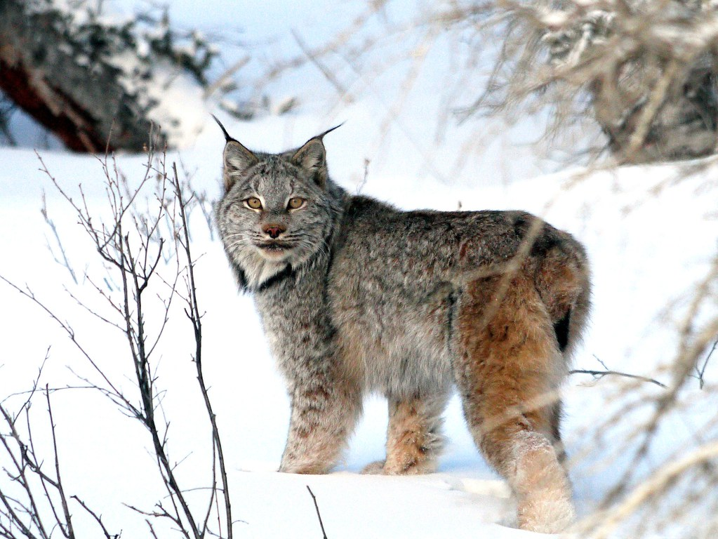 eye to eye with a canadian lynx on our return from the arc u2026 flickr