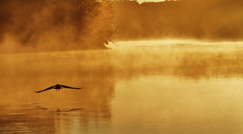 Blue Heron Over the Golden Lake | by j man.