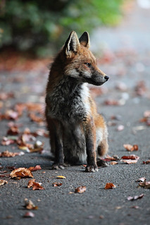 Young Urban Fox relaxing in Cotham Bristol, Ian Wade, www.ws-pa.com | by Disorganised Photographer - Ian Wade - Travel, Wil