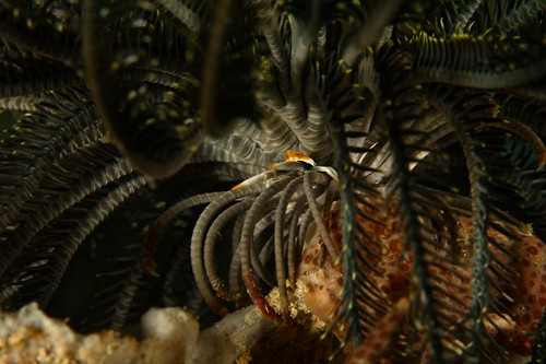 squat lobster in the crinoid | by allisonfinch