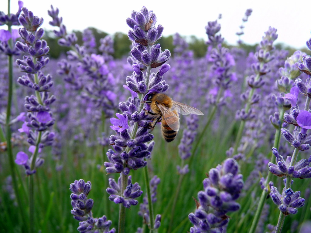 Terrific Bee Lands On Lavender Bridestowe Estate Lavender Farm No  Flickr With Exciting  Bee Lands On Lavender Bridestowe Estate Lavender Farm North Tasmania  Australia  By With Cute The Green Gardener Also Winter Gardens Aberdeen In Addition Coconut Garden Dunstable And The Garden House Edgbaston As Well As Pictures Of Small Gardens Additionally Savage Garden Before I Met You From Flickrcom With   Exciting Bee Lands On Lavender Bridestowe Estate Lavender Farm No  Flickr With Cute  Bee Lands On Lavender Bridestowe Estate Lavender Farm North Tasmania  Australia  By And Terrific The Green Gardener Also Winter Gardens Aberdeen In Addition Coconut Garden Dunstable From Flickrcom