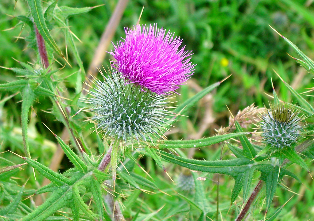The Thistle Scotland Definitive Flickr