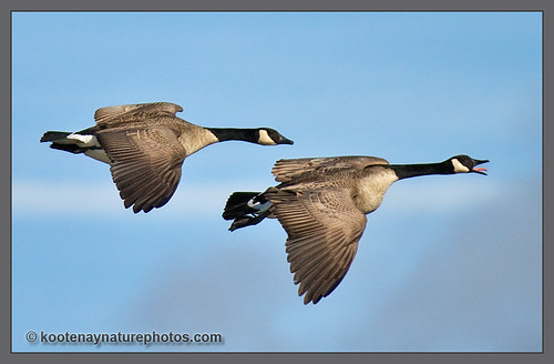 Canada Geese | by kootenaynaturephotos.com