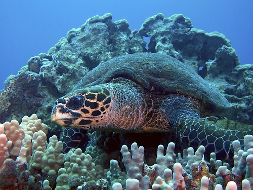 Hawksbill Turtle, Kona Coast, Big Island, Hawaii. | by SteveD.