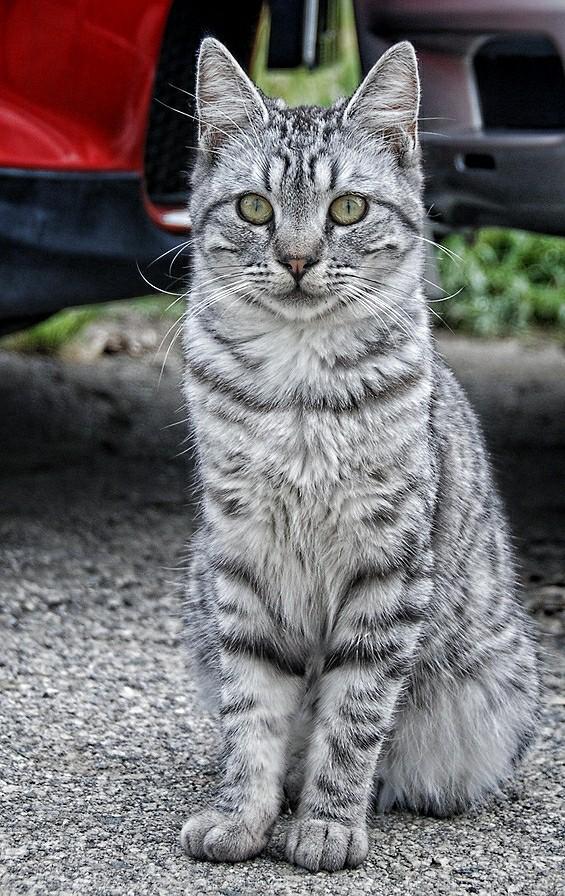 black grey and orange cat