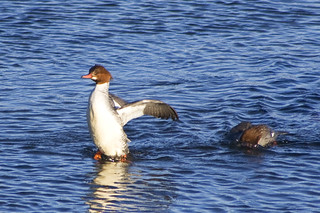 common merganser | by fog and swell