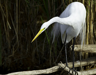 110304_MG_5063_SRP7D_Great Egret | by Steve Russell Photography