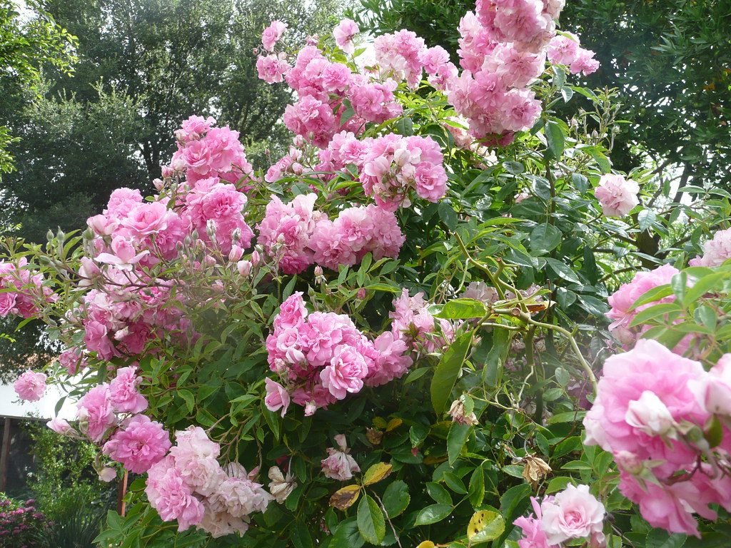 Weeping china doll rose tree by teddybarb