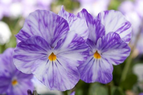 Viola 'Columbine' | © Native Sons Wholesale Nursery, Inc. Vi… | Flickr