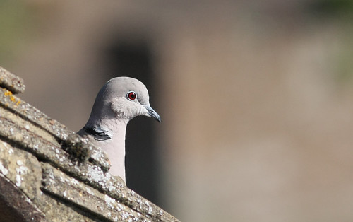 Collared Dove head ... Streptopelia decaocto | by kjlast