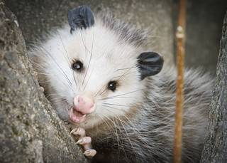 Opossums are Sooooo Cute! | by Silverbird_4