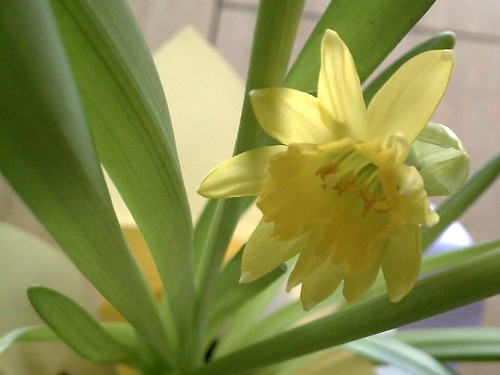 Birthday narcissus | by Elli :-)