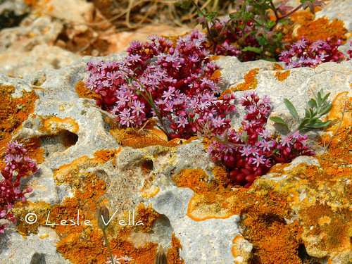 Spring in the garigue, Dingli, Malta | by leslievella64