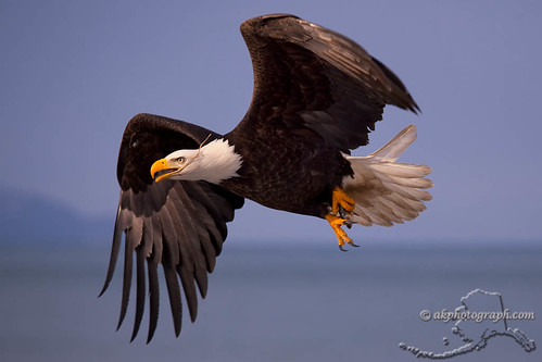 Homer Eagles | by akphotograph.com
