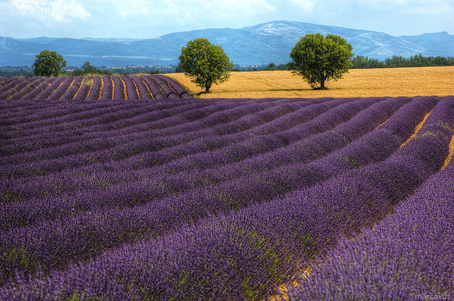 Purple Fields 3