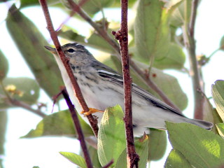 Blackpoll Warbler female 20110414 | by Kenneth Cole Schneider