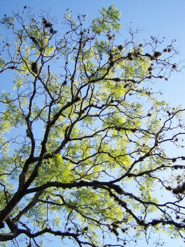 jacaranda sin flores jacaranda without flowers jorgelina flickr