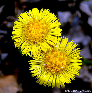 Coltsfoot is real spring flower for Scandinavia! | by gustaf wallen