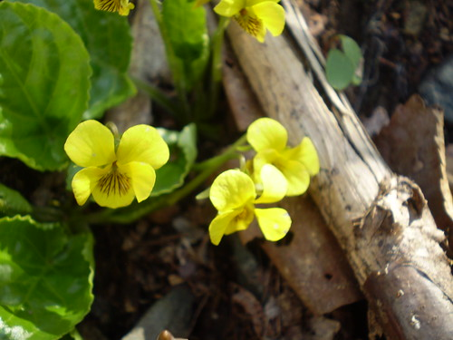 Yellow Violets | by Greenberry House