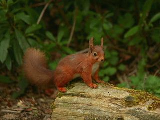 red squirrel on log | by malcolm5959