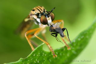 Robber fly vs. Phorid fly | by Nikola Rahme