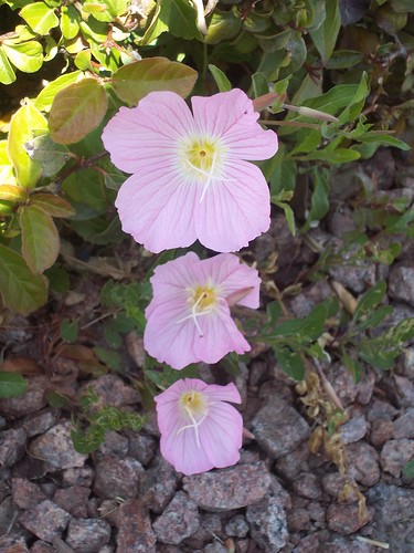 plants_flowers_pink-primrose_2 | by time_anchor
