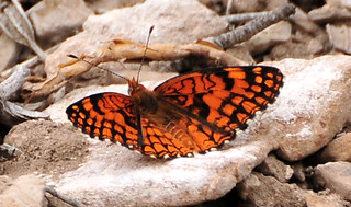 Spring Mountains acastus checkerspot Butterfly | by USFWS Pacific Southwest Region