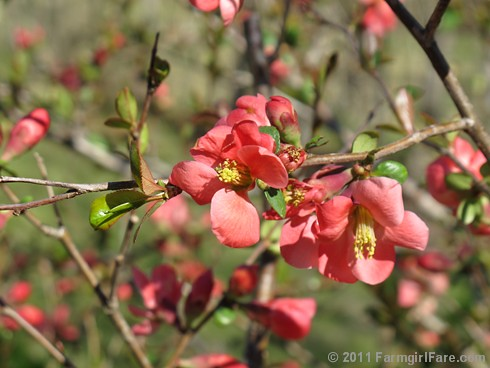 Flowering Quince | by Farmgirl Susan