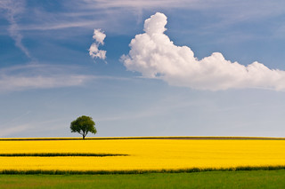 rapeseed and the tree | by skoeber