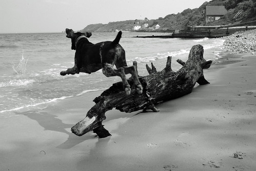 boing . . .   Zeus chasing pebbles on Totland Bay, Isle of Wight | by Wight Pod