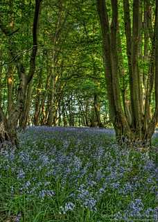 Bluebells_4.jpg | by Mark Seton