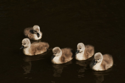 Cygnets on the Oxford Canal | by camillaskye