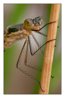 169/365 Emerald Damselfly | by Mister Oy