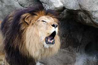 Lion Roaring Closeup | by Eric Kilby