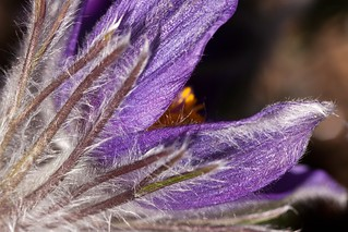 purple pasque flower | by mclcbooks