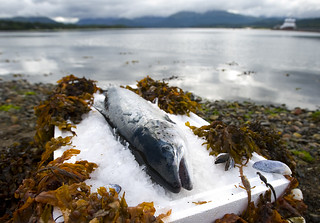 salmon 6 | by Scottish Salmon Producers' Organisation