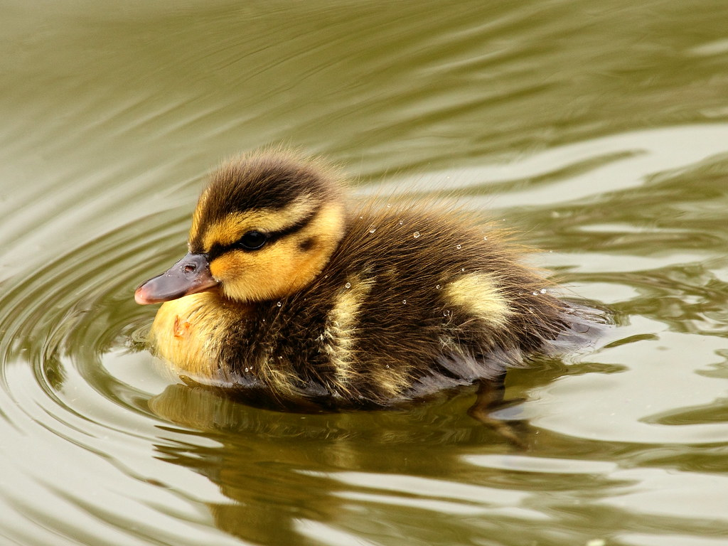 Duckling at Constitution Gardens | Mallard duckling (Anas pl… | Flickr