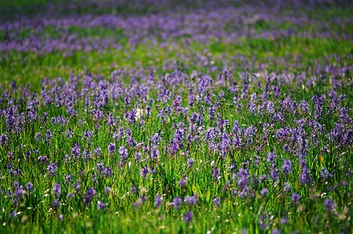 packer-meadows-camas-bloom-june-2010-by-joni-packard-usfs-image | by Forest Service - Northern Region